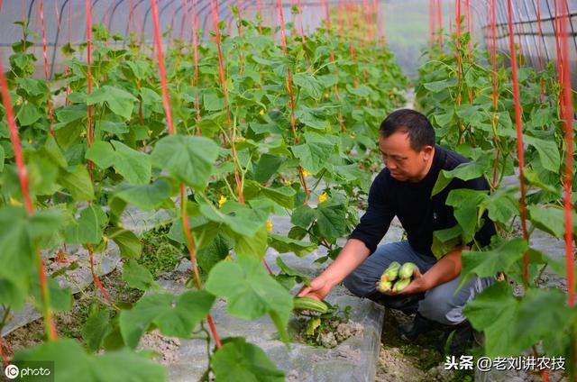 农技:大棚茄果类蔬菜根腐病及细菌性病害多发,及早预防及时治疗