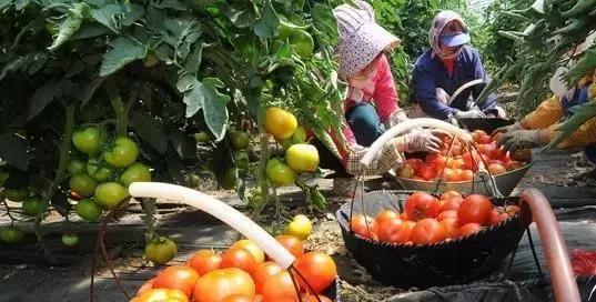 夏季茄果类蔬菜如何管理?做到这几点植株健壮才能高产