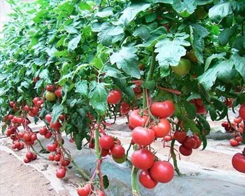 夏季茄果类蔬菜防早衰:可少留果,留精品果